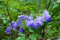 Klockor blommor Arkivfoto