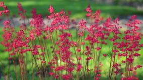Klockor för röd korall som svänger i vinden arkivfilmer