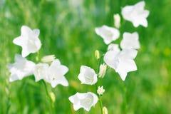 Klockor för vita blommor arkivbild