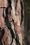 Klockowata sosny barkentyny tekstura Obrazy Stock