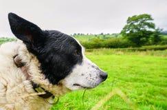 Klok gammal fårhund i walesisk bygd arkivbild