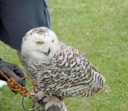 klok gammal owl fotografering för bildbyråer