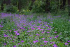 Klok het uitspreiden in een bosopen plek stock foto