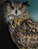 klok owl Royaltyfri Bild
