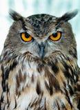 klok owl Arkivfoton