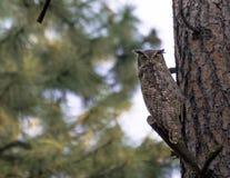 klok owl arkivbild