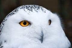 Klok seende vit snöig uggla med den stora orange ögonståenden fotografering för bildbyråer