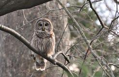 Kloka Bard Owl Arkivbilder