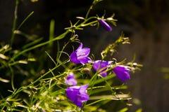 Klokbloemen in Zwitserse Alpen Stock Fotografie