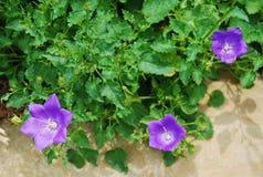 Klokje Carpatica Royalty-vrije Stock Afbeeldingen