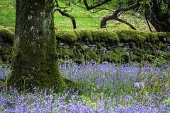 Klokjes die op Schotse bosweide tot bloei komen royalty-vrije stock foto