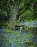 Klokjes die in Schots bos tot bloei komen royalty-vrije stock foto's