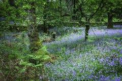Klokjes die in Schots bos tot bloei komen stock foto's
