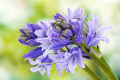 Klokjes (niet-scripta Hyacinthoides) Stock Foto's