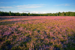 Klominskie heathland in Drawskie Lakeland (Poland) Royalty Free Stock Image