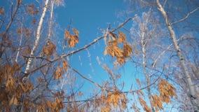 Klonów ziarna w śniegu przeciw tłu zim lasowi drzewa w śniegu bez ulistnienia przeciw niebieskiemu niebu, zbiory wideo