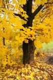 Klon, drzewo Zdjęcia Royalty Free