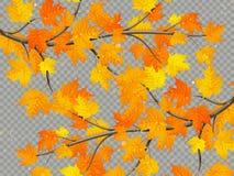 Klon gałąź z kolorowymi liśćmi odizolowywającymi na przejrzystym tle 10 eps royalty ilustracja