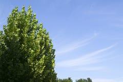 Klon i niebieskie niebo Fotografia Royalty Free