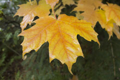klon liści Obraz Stock
