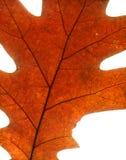 klon liści jesienią Obrazy Stock