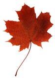 klon liści Obraz Royalty Free