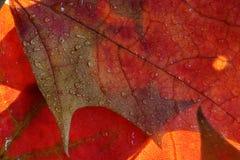 klon liściach mokre Zdjęcia Stock