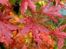 klon liściach mokre Obrazy Stock