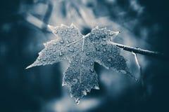 klon liściach mokre Obrazy Royalty Free