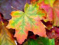 klon suche liści Obrazy Stock