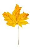 klon suche liści Zdjęcia Royalty Free