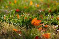 klon trawy liść klon Fotografia Royalty Free