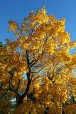 Klon w jesień kolorach Obraz Royalty Free