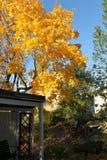 Klon w jesień kolorach Obraz Stock