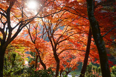 Klon w Kyoto Obrazy Royalty Free