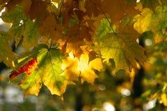klon wielo- kolorowe liści Fotografia Royalty Free