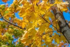 Klonowa gałąź z złotem i kolorem żółtym rzeźbiącymi opuszcza na niebieskiego nieba tle Zdjęcie Stock
