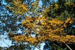 Klonowa jesień Zdjęcie Stock