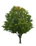 klonowego drzewa biel Obraz Stock
