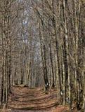 Klonowego drzewa ślad Zdjęcie Royalty Free