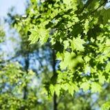 Klonowego drzewa liście zamknięci up w zielonym lesie Fotografia Royalty Free