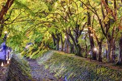 Klonowego drzewa tunel Fotografia Royalty Free
