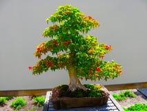 Klonowi bonsai Fotografia Royalty Free