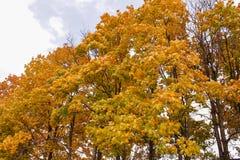 Klonowi drzewa Zdjęcie Stock