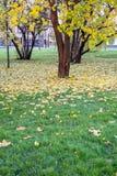 Klonowi drzewa Zdjęcia Royalty Free