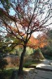 Klonowi drzewa w słońce ogródzie botanicznym Obraz Royalty Free