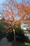 Klonowi drzewa w słońce ogródzie botanicznym Zdjęcia Royalty Free