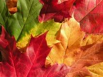 klonowi jesień liść Obraz Royalty Free