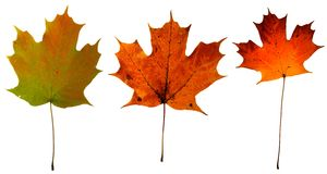 klonowi jesień liść fotografia stock