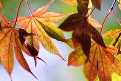 klonowi jesień liść Obraz Stock